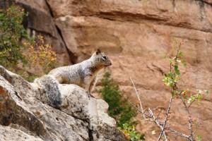 Egern i Grand Canyon