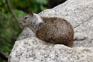 Egern i Yosemite